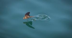 فازت هذه الصورة، التي التقطتها ماكينا باولي، بجائزة مسابقة التصوير الفوتوغرافي في محمية غالاباغوس عام 2017. التقطت الصورة، لطائر النوء الذي يمشى على سطح الماء بحثا عن الطعام على ما يبدو، قبالة ساحل جزيرة فرناندينا. أعجب أعضاء لجنة التحكيم بالتفاصيل التي التقطتها باولي.