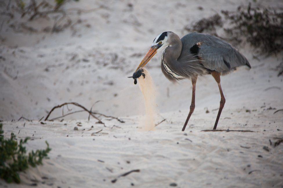 التقط داريو فاسكيزالا هذه الصورة على جزيرة فلورينا لطائر البلشون وهو يصطاد سلحفاة بحر، وحصلت الصورة على المركز الأول في فئة سلوك الحيوان.