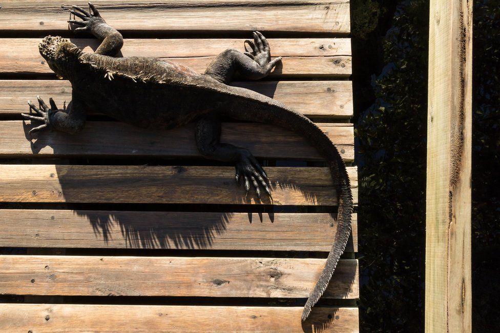 تلخص هذه الصورة، للإغوانا البحرية في إيزابيلا، التفاعل بين الحياة البرية والأشياء التي صنعها الإنسان والتي وجدت في غالاباغوس، وحصلت على المركز الثاني في فئة رجل في الأرخبيل للمصور كارلوس كوينكا سولان.